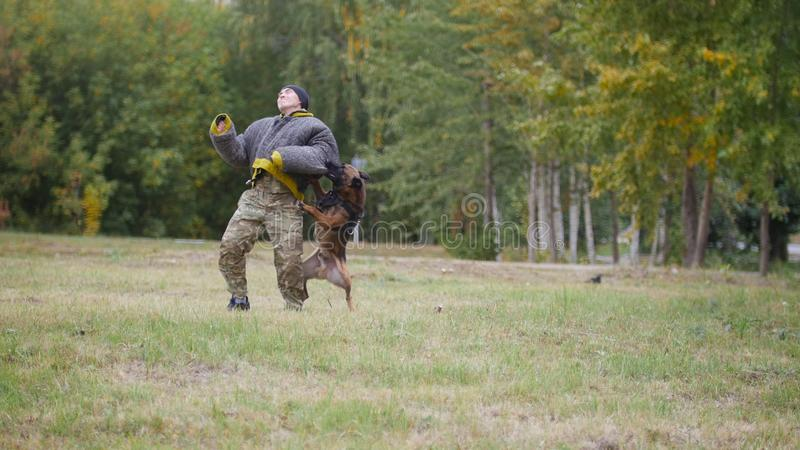 A trained german shepherd dog bites his trainer in a protection suit in the arm. Big trained german shepherd dog bites his trainer in a protection suit in the royalty free stock photos