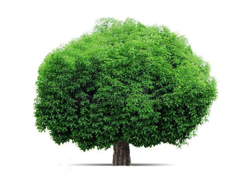 Big tree. The big green tree. Standing on a white background stock photo