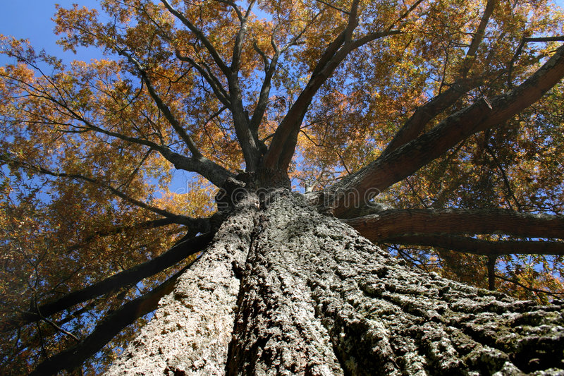 Download Big Tree stock photo. Image of nature, trunk, leaves, forest - 432410