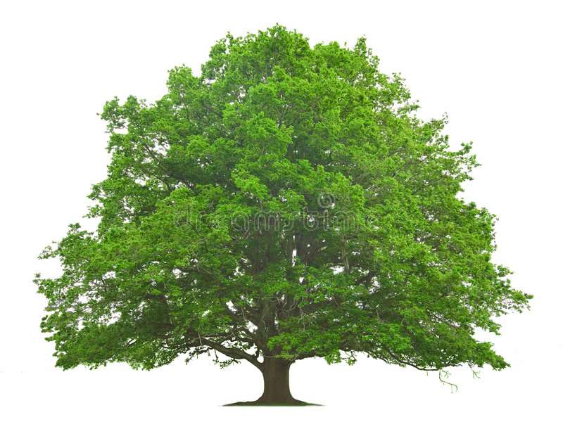 Big Tree. Isolated against a white background stock image