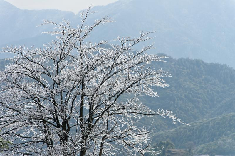 A big tree with bare branches are covered with ice and frost in winter. A big tree with bare branches are covered with transparent ice in winter. The weather is stock photos