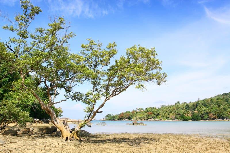 Big Tree On The Beach Stock Photography