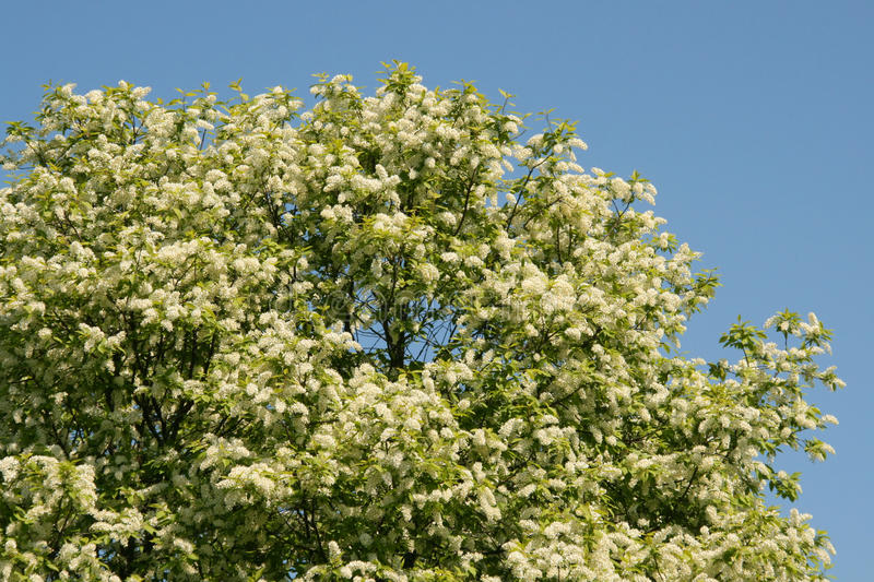 The big tree blossoms white colours stock photography
