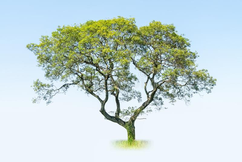 Big tree. A big tree on blue sky , acacia confusa royalty free stock photography
