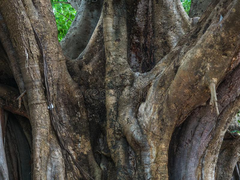Big tree body show many of complicated root tight and surround the tree. The big tree body show many of complicated root tight and surround the tree stock photo