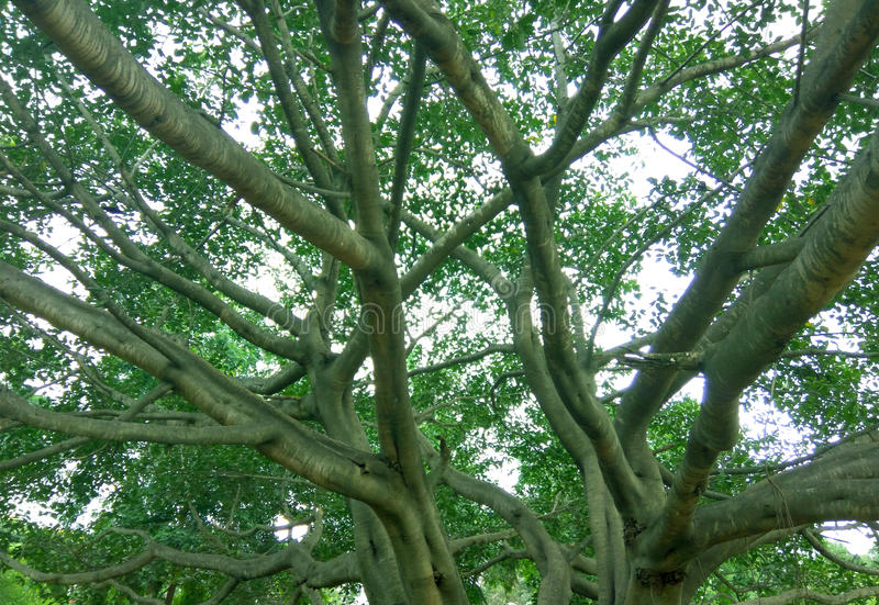Big tree and branches royalty free stock photography