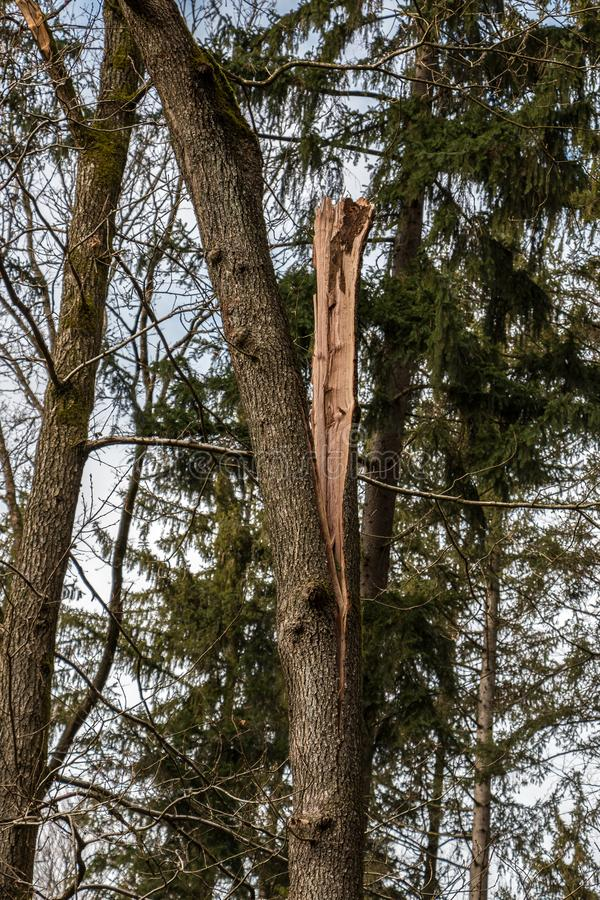 Big tree broken in the middle after a big storm. In the forest royalty free stock image