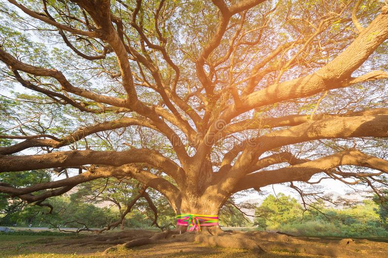 Big tree in garden with sun light royalty free stock images