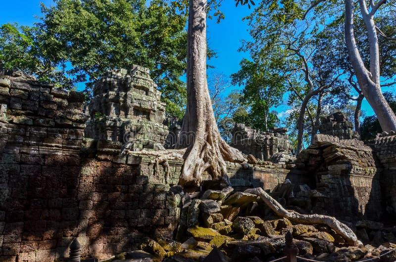 Big tree in ruins of Angkor Wat stock photos