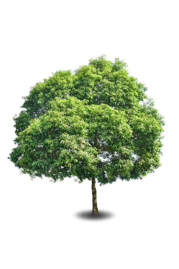 Big tree isolated on white background royalty free stock images