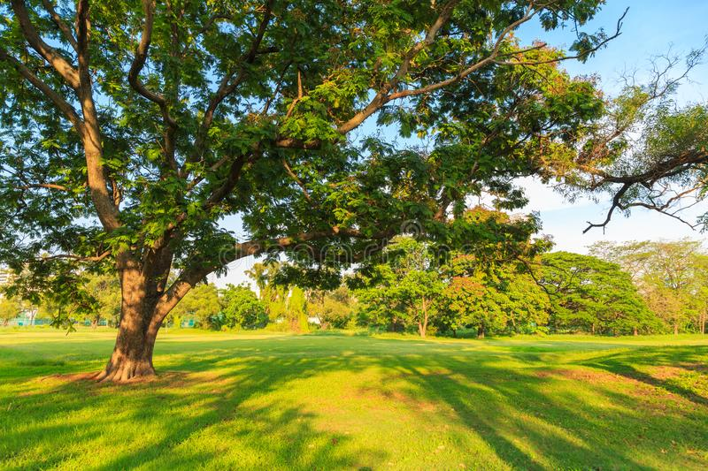 A big tree on a lawn with shade of other tree in the sunset. A beautiful big tree on a lawn with shade of other tree in evening a the publick park with nature stock photos