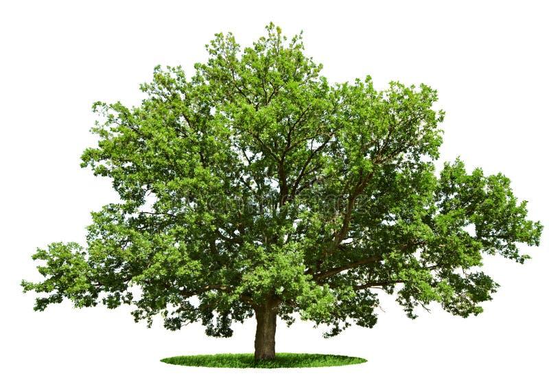 Big tree - oak isolated on a white royalty free stock image