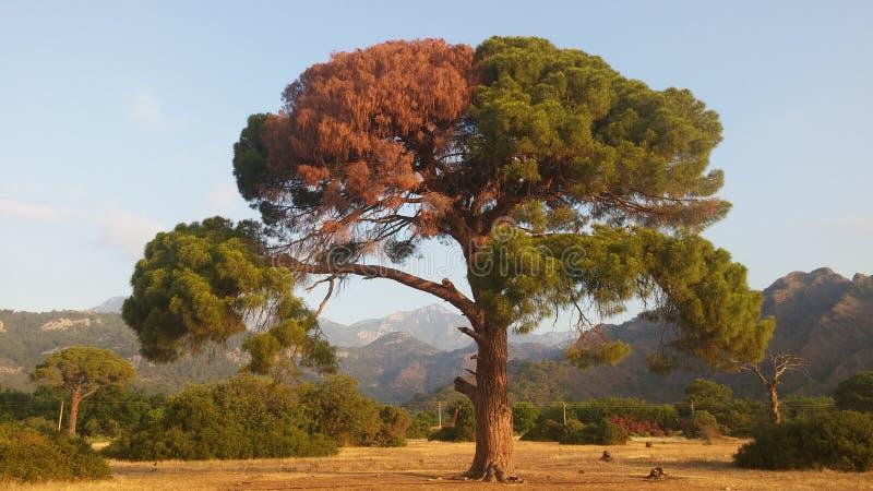Big tree pine at sunrise. Big tree at sunrise Cirali, Turkey royalty free stock images
