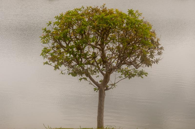 Big tree with river background,nature concept stock photo