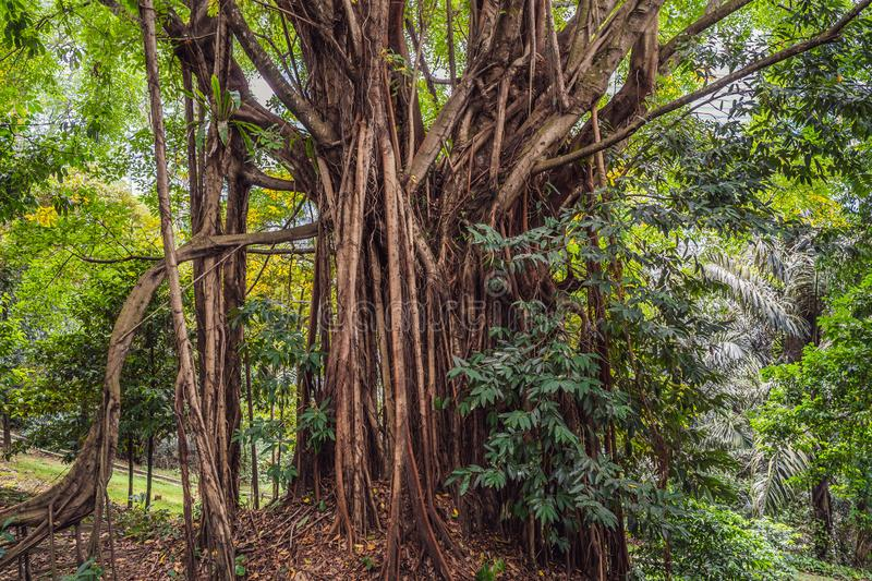 Big tree root in the jungle wild. amazing banyan root in deep tropical forest. A old tree has roots for natural stock images