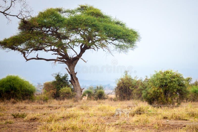 Big tree in the scenery in Kenya, on safari. In the savannah stock images