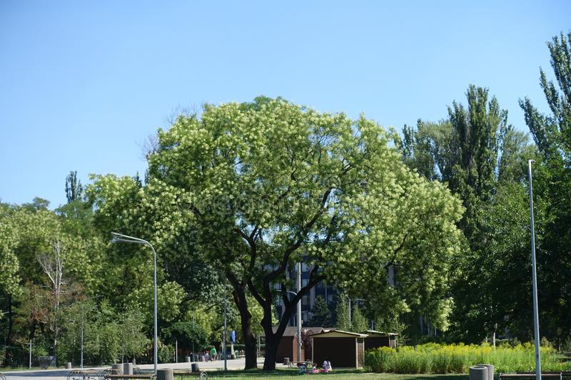 Big tree of Sophora japonica in the park royalty free stock photo
