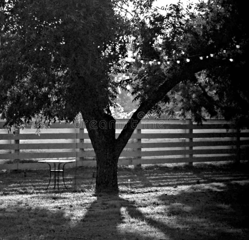 Big Tree by Split Rail Fence in Black and White royalty free stock image