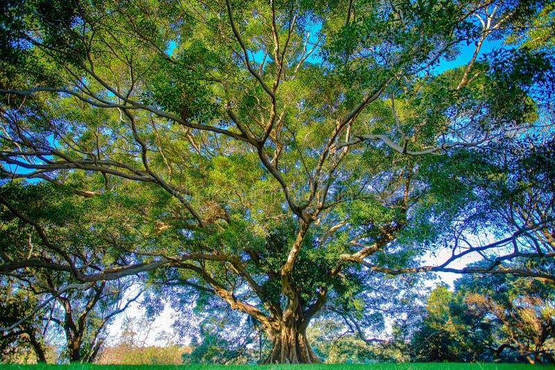 Big tree. A big tree at sydney park royalty free stock photo