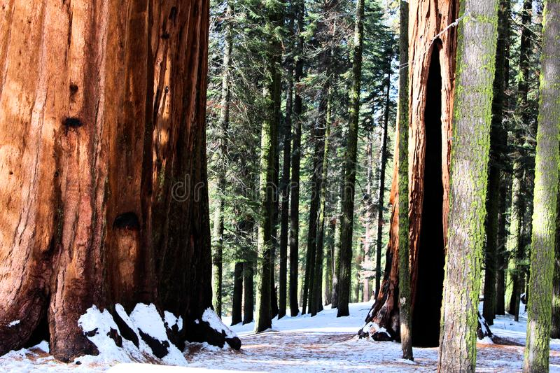 Sequoia national park in California in snow royalty free stock photos