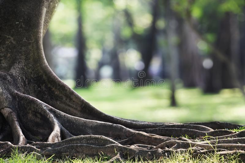 Big tree with trunk and roots spreading out beautiful on grass green in nature forest background with sunshine in the morning. Landscape wood old plant natural royalty free stock photography