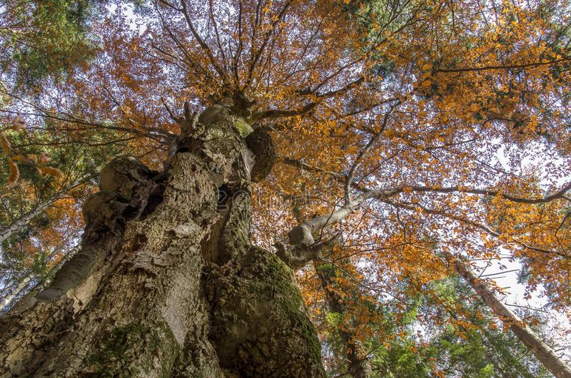 Big tree trunks in autumn, seen from below royalty free stock photo