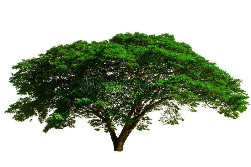 The big tree used to design or decoration, isolated on white background. stock photo