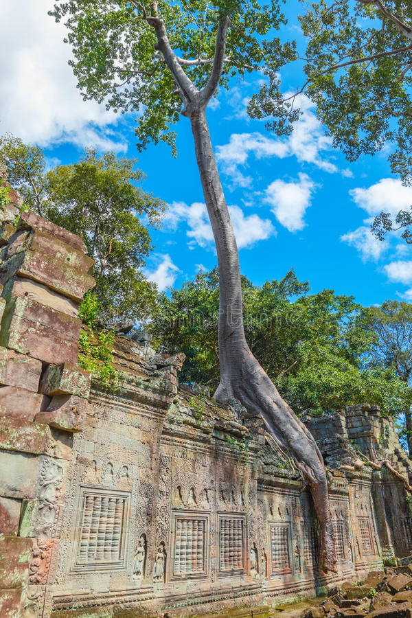 Big tree on the wall of the Preah Khan temple stock photo