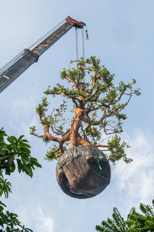 The big tree was lifted with crane for planting. The big tree was lifted with crane for planting in thailand royalty free stock images