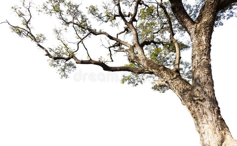 Big tree. On a white background stock image