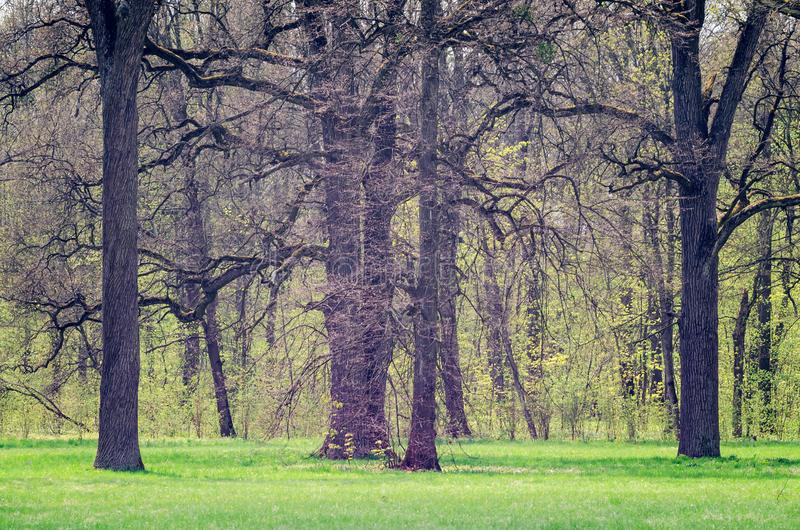 Big trees and green grass in the city park in spring royalty free stock photography