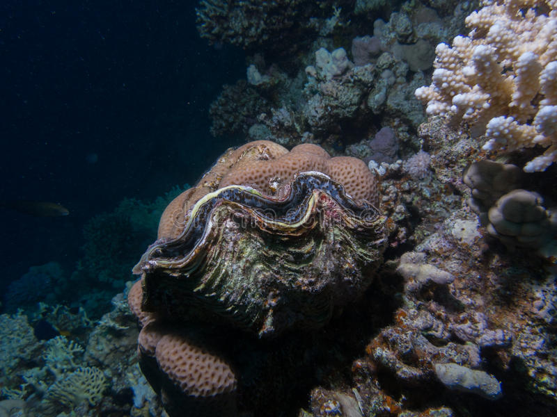 Big tridacna on a coral reef