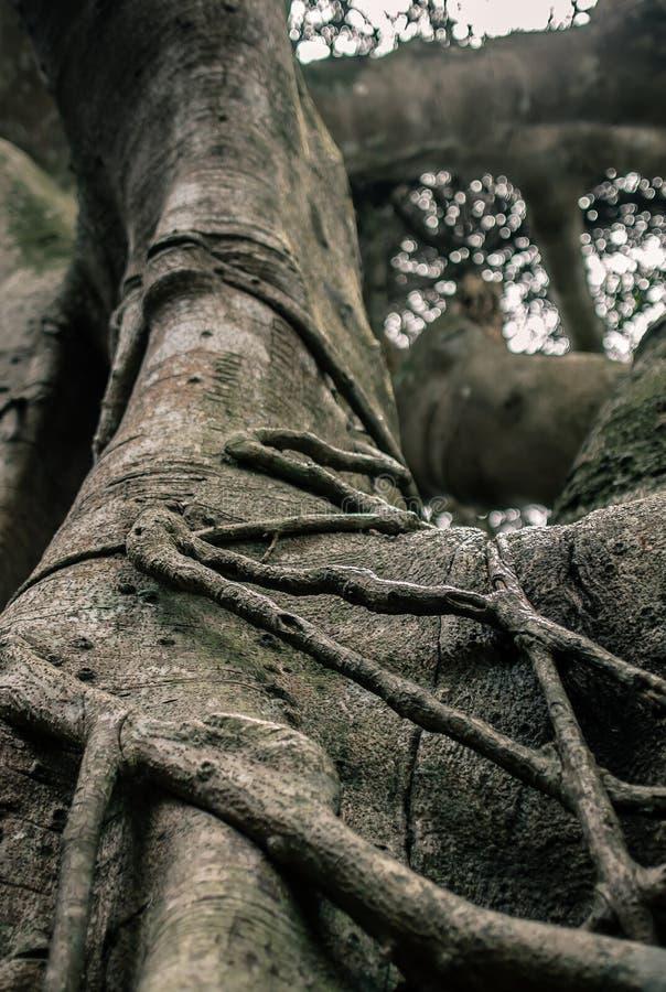 Big tropical banyan tree close-up royalty free stock photos
