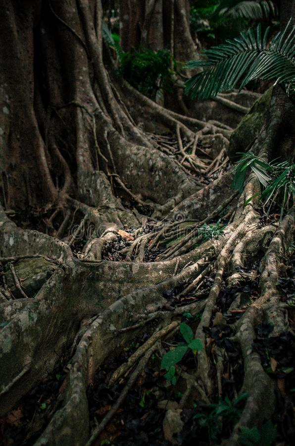 Big tropical banyan tree with a lot of roots close-up royalty free stock photo