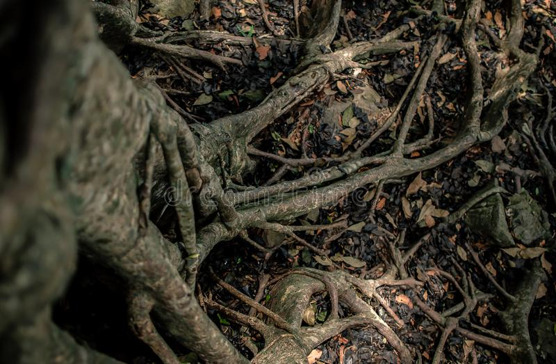 Big tropical banyan tree with a lot of roots close-up stock image