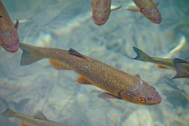Big trout
