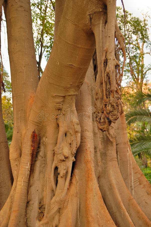 Download Big trunk stock image. Image of ancient, hanging, andalusian - 22884835