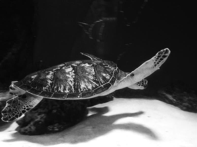 Big turtle in aquarium royalty free stock images