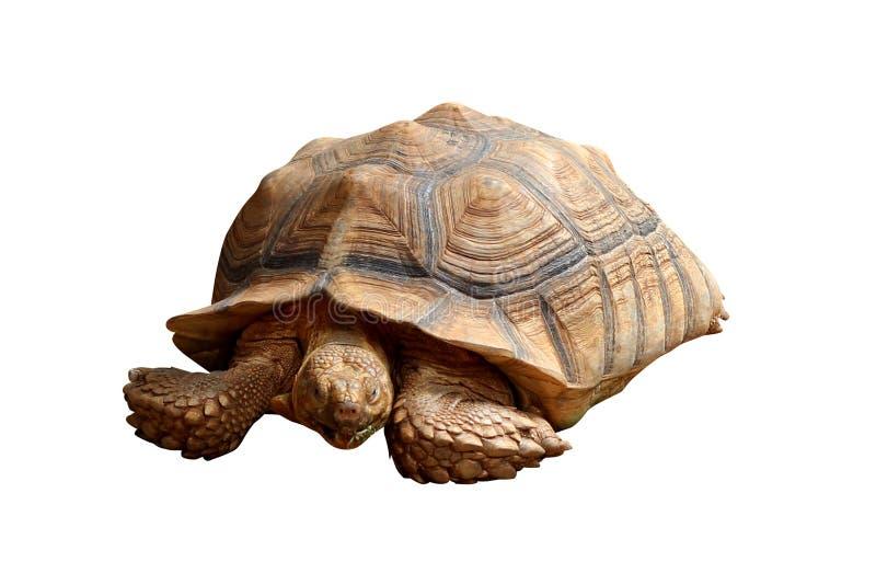 Big turtle isolated on white background stock photography