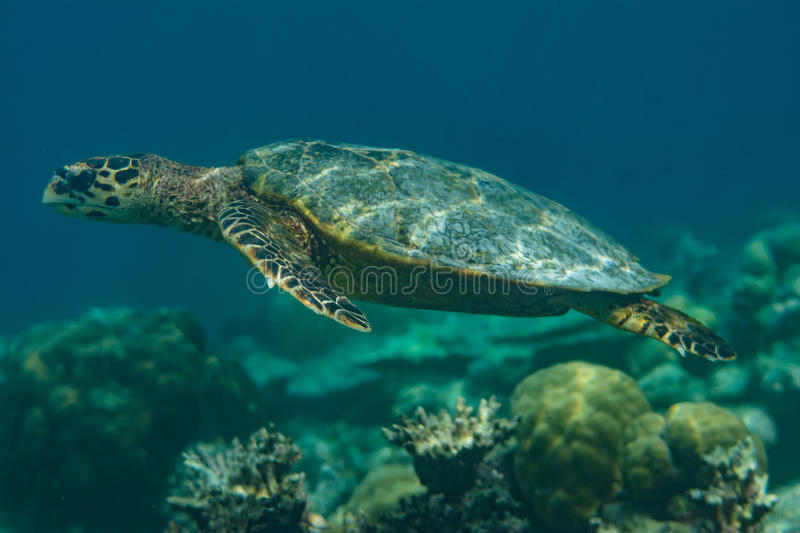 Big turtle swimming in the indian ocean at Maldives royalty free stock photos