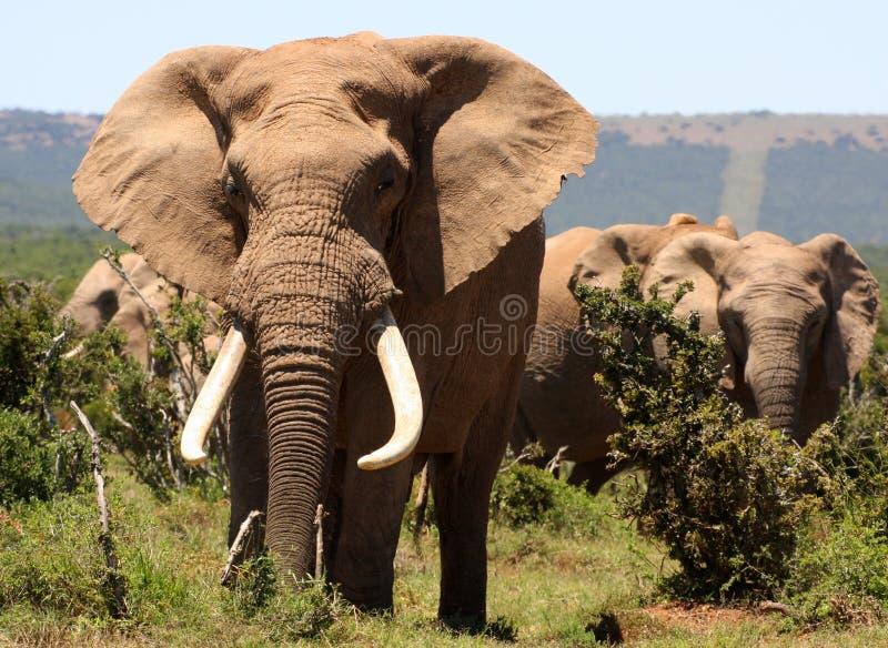 Big tusker elephant royalty free stock photos
