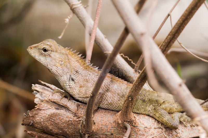 Big Typical Orange Lizard on the Wood royalty free stock image