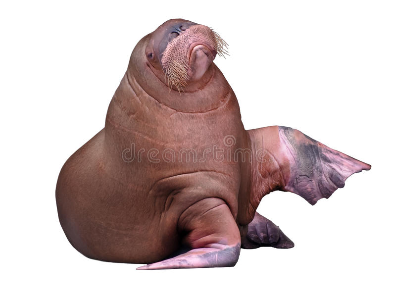 Big Walrus. Isolated on pure white background royalty free stock photography