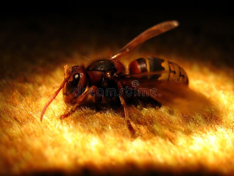A big wasp royalty free stock photography