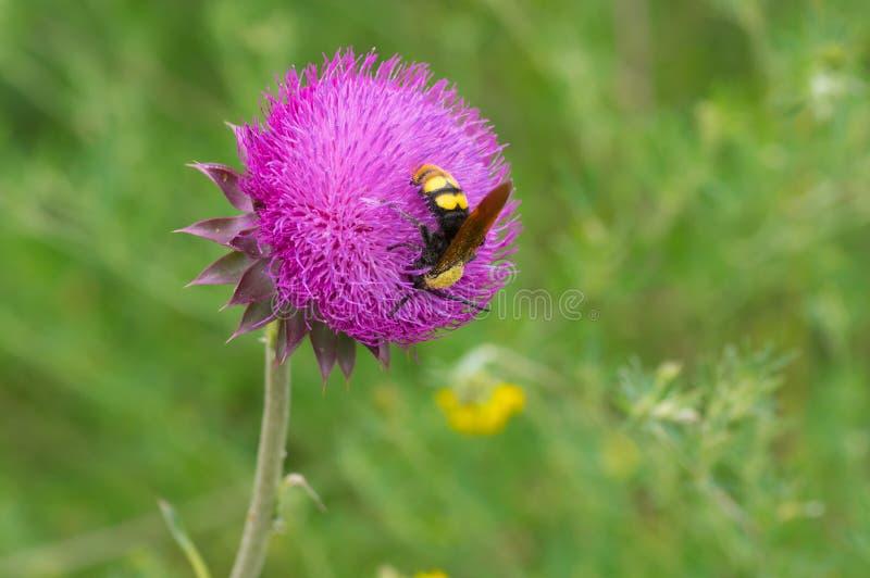 Big wasp sucking nectar on a thistle flower. At summer season royalty free stock image