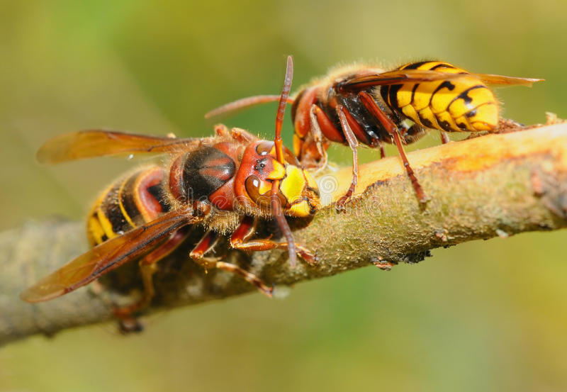 Big wasps royalty free stock photo