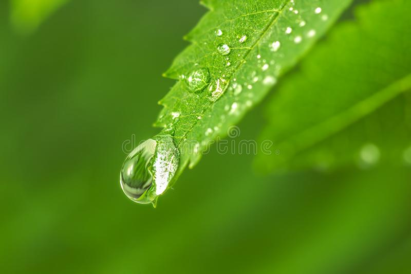 Big water drop on the green grass. Dew drop in the morning on a green leaf. green leaf with drops of water. Big beautiful drops of transparent rainwater on royalty free stock photography