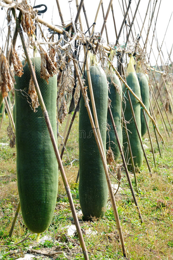 Big Wax gourd royalty free stock photos