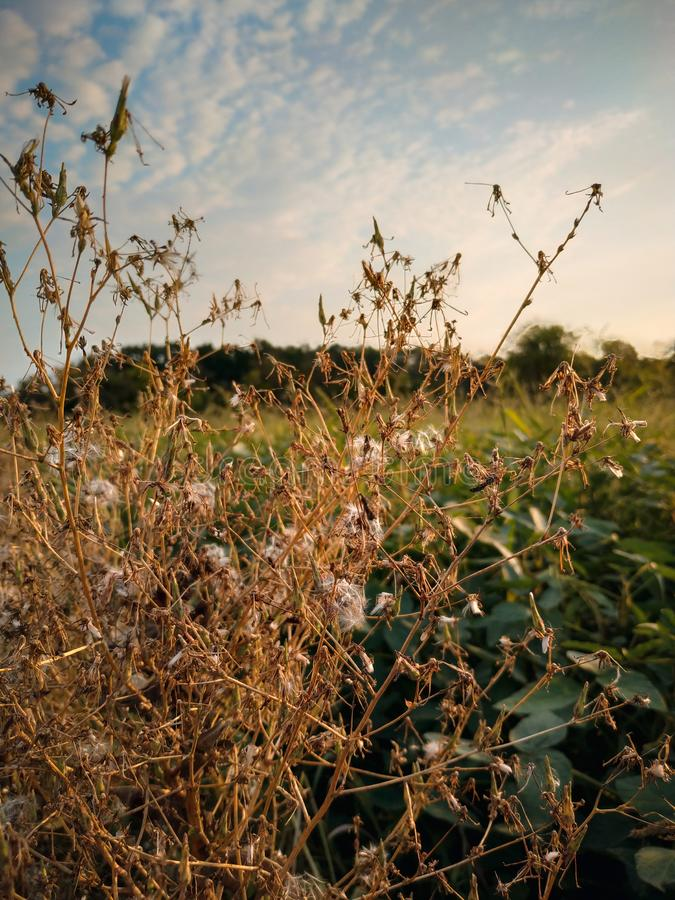 Big weeds hinders to the field for growth royalty free stock photos
