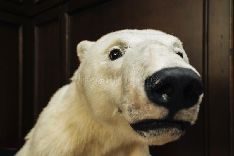 Big white bear looks at camera. Close-up portrait of white bear on wide lens stock photography
